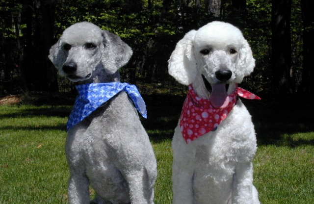 Standard poodle retrievers that truly hunt and retrieve with enthusiam